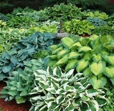Mixed Hosta Seeds! large variety mix! Plantain Lily, Hardy! shade/japanese style