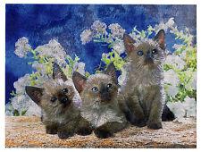 """DUFEX FOIL FOTO STAMPA-gattini siamesi-dimensioni 6"""" x 8"""""""