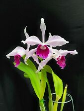 New listing Rare Cattleya Orchids - L purpurata typical