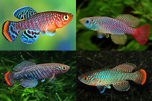 120 EGGS (4 Species) KILLIFISH NOTHOBRANCHIUS HATCHING Free Fairy Shrimps