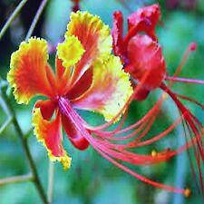 BIRD OF PARADISE SEEDS CAESALPINIA PULCHERRIMA FLOWERING SHRUB 10 SEED PACK