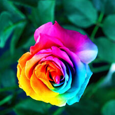 200Pcs Colorful Rainbow Rose Flower Seeds Multi-Color Rose Home Garden Plant