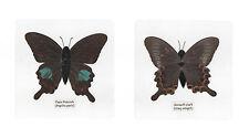 Laminated Paris Peacock Papilio paris Butterfly Specimen in 11x11 cm sheet