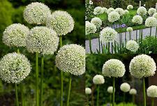 Allium gigante (Allium giganteum) 30 semillas / blanco - resistente al invierno