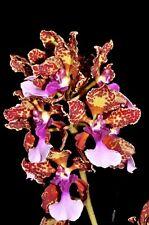 Trichocentrum lanceanum species Orchid Plant