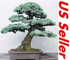 50 PCS Colorado Blue Spruce Seeds T8,  Beautiful Decorative Trees Air Purifier