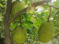 6 Fresh Seeds of Artocarpus heterophyllus Lam., Jackfruit