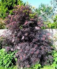 SAMBUCUS BLACK LACE ELDERBERRY Elder Nigra Ornamental Dark Elderflower 20 Seeds