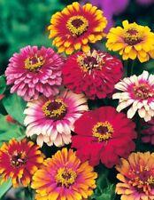 New listing Zinnia Seeds, Carrousel Mix, Heirloom Mixed Zinnia Seed, Heirloom Flower, 75ct