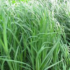 Hup New 400PCS Fashion Fast Grow Lemon Grass Herb Seeds Ornamental Cymbopogon