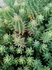 Sedum Blue Spruce Cuttings Hardy Ground Cover Perennial Green Maroon Stonecrop