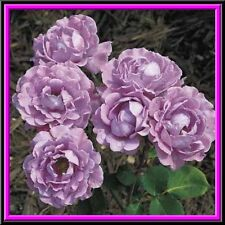 Rare Light Purple Climbing Rose! 15 Seeds! Comb. S/H! SEE OUR STORE!