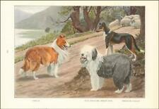 Collie Dog Rough & Smooth, English Sheep Dog by Fuertes, antique print 1919*