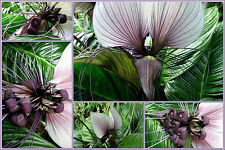 Perennial* PURPLE BAT PLANT *EXOTIC   5 Seeds  *Great Houseplant!