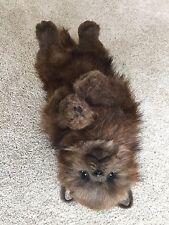 Ooak Dog, Ooak Bear, Ooak Puppy, Ooak Spritz,  Ooak Realistic Dog