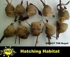 10 Fresh Picked Praying Mantis Egg Cases ➕ Hatching Habitat Pods in Habitat Bag