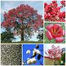 10 semillas Bombax ceiba, rojo árbol de algodón  , S