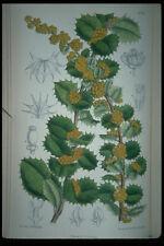 394099 Berberis Congestifolia A4 Photo Print