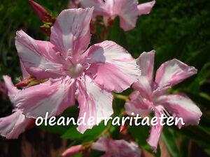 1 x Oleander Steckling KEWPIE RARITÄT