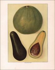AVOCADO, ALLIGATOR PEARS, Antique Print, Authentic 1911