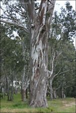Red forest # Blue Gum Tree / Eucalyptus Tereticornis Tree seeds (20 seeds) T-051