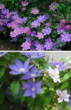 Jetzt pflanzen Clematis Sortiment immergrüne blühende Hecken für den Garten Deko
