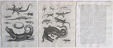 1797 2 Antique Prints Lacerta Cayman Crocodile Basilisk + Original Article Text
