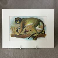 1896 Antico Stampa Scimmia Talapoin Primates Original Vittoriano Naturale Storia