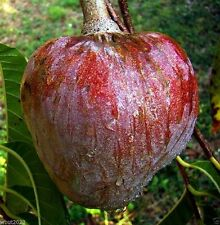 Red Custard Apple Tree (10 Seeds) AKA bullock's Heart,Jamaican Apple ! Rare
