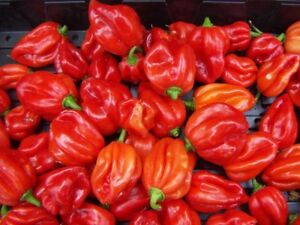 Chilli pepper seeds Scotch Bonnet red - Grow your own  Hot Chillies