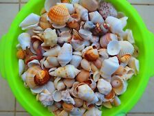 250gr 0.5pound Natural Beach Mix SeaShells Israel Sea Conch Aquarium Decor Craft