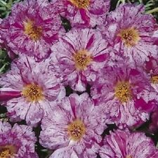 50+ SUNDIAL PEPPERMINT PORTULACA MOSS ROSE SEEDS ANNUAL GROUND-COVER SEEDS