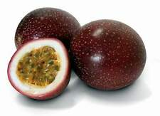 TROPICAL PURPLE PASSION FRUIT! 10 SEEDS