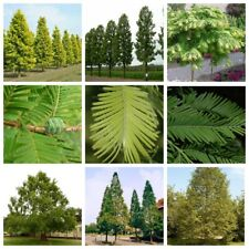 100Pcs Metasequoia Glyptostroboides Seeds Plants Trees Garden Nature Beaty Decor