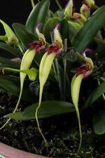 Orchid species Bulbophyllum fascinator F. semi-Alba Bloom taille