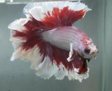 New listing live betta Tropical betta Fish-Rosetail butterfly halfmoon betta I57