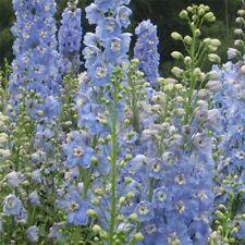 Delphinium / Larkspur- Summer Skies - 50 Seeds