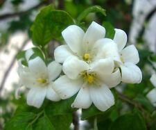 SEEDS 8 graines de BOIS JASMIN(Murraya Paniculata) SAMEN SEMILLA SEMENTES