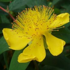 St. Johns Wort - 500 Seeds - Garden Herb Herbal  Medicinal Plant USA SELLER!