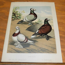 1876 Antique COLOR Pigeon Print///PRIEST, CRESCENT AND FIRE-BACK