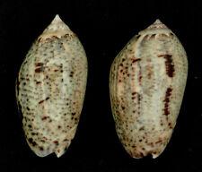 Coquillage de collection : Oliva incrassata (x2)