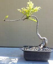 JAPANESE ROYAL PURPLE WISTERIA BONSAI TREE ,,,SALE