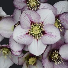 2 Helleborus French Kiss Rare Flowering Perennial Live Plant Stunning