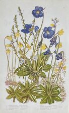 ANTIQUE England Anne PRATT 1860 BOTANICAL Chromolitho Print - VERVAIN Butterwort