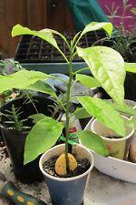 Avocado 2 seeds 100% fresh ,Organic ,germination Healthy fruit