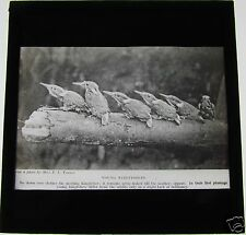 Glass Magic Lantern Slide Baby Kingfishers C1900 Birds Ornithology