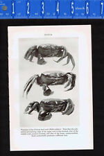 Chinese Land Crab (Helice tridens) -1934 Scientific Print