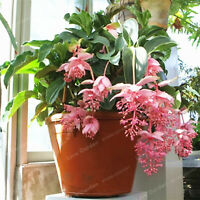 Amazing 2018 New 100 pcs//pack Bonsai Medinilla magnifica For Home Garden