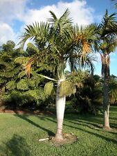 SPINDLE PALM - Hyophorbe verschaffeltii - 10 Fresh Seeds - Tropical Bottle Palm