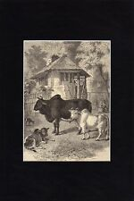 Antique matted print :Zebus Bos indicus Brahmin cattle 1859 Buckelrind holzstich